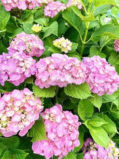 ピンクの紫陽花の写真・画像素材[4563373]