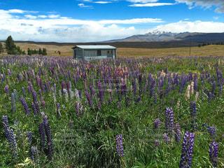 大きな紫色の花は、芝生のフィールドの写真・画像素材[1383384]