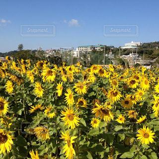 黄色の花の束の写真・画像素材[1389632]