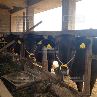 納屋に牛の群れの写真・画像素材[1395791]
