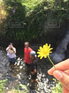 花,春,黄色,たんぽぽ,ダンデライオン
