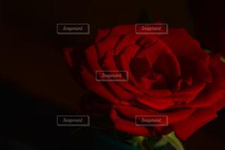 薔薇の写真・画像素材[1962369]