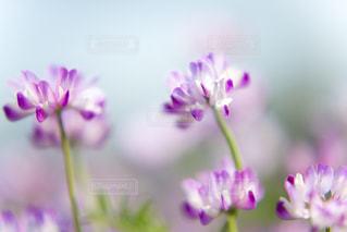 思い出のれんげ草の写真・画像素材[2053676]