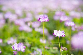 一面に広がるれんげ草の写真・画像素材[2053677]