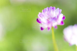 レンゲ草の写真・画像素材[2053679]