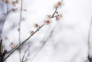 白梅の写真・画像素材[2981990]