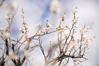 白梅の写真・画像素材[3015695]