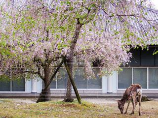 桜と鹿の写真・画像素材[3036835]