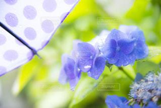 雨の日の紫陽花の写真・画像素材[3376393]