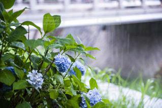 雨に濡れる紫陽花の写真・画像素材[3376394]