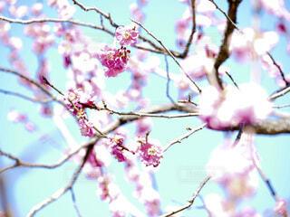 桃色の梅の花の写真・画像素材[4233434]