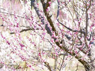 咲き乱れる梅の花の写真・画像素材[4233438]