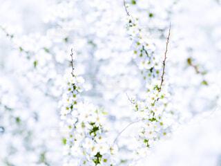 ユキヤナギの花の写真・画像素材[4265513]