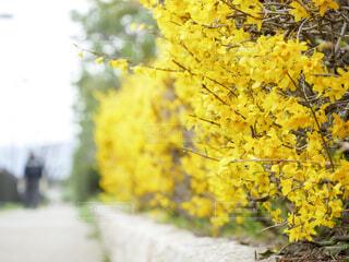 街路樹の黄色い花の写真・画像素材[4297064]
