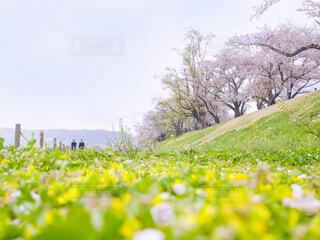 桜や野の花が咲き乱れている春の風景の写真・画像素材[4304584]