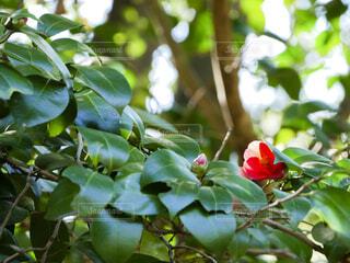 サザンカの花の写真・画像素材[4314310]