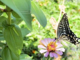 お花にとまって蜜を吸っているアゲハ蝶の写真・画像素材[4316622]