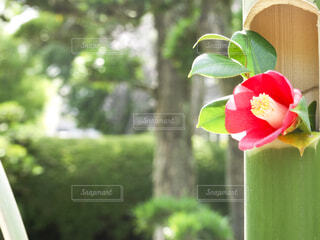 竹に生けられた椿の花の写真・画像素材[4319356]