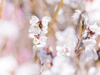 梅林の白梅の写真・画像素材[4353471]