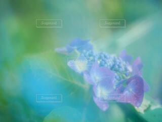 ビニール傘の向こうの紫陽花の写真・画像素材[4536376]
