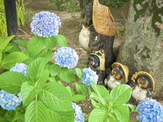 紫陽花と信楽のタヌキたちの写真・画像素材[4557608]