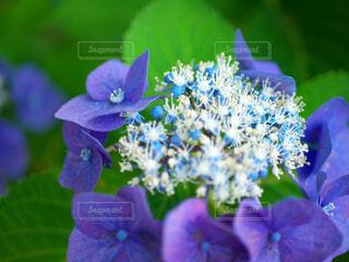 紫陽花の花のクローズアップの写真・画像素材[4557609]