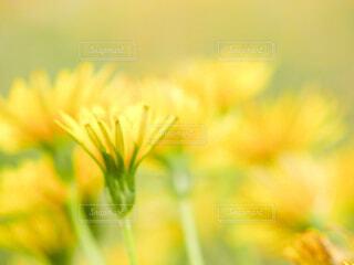 たんぽぽの花たちの写真・画像素材[4621874]