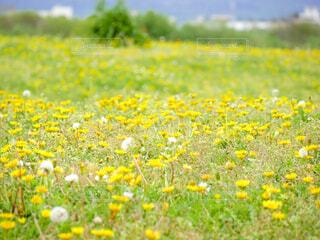 野原のタンポポの写真・画像素材[4621876]