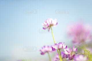 蓮華の花畑の写真・画像素材[4621877]