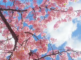 自然,空,花,桜,屋外,雲,日中,愛知,岡崎,さくら,葵桜