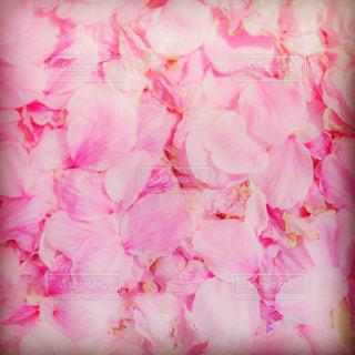 桜,ピンク,サクラ,桃色,さくら