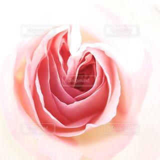 ピンク,バラ,薔薇,桃色,ばら