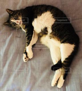 ベッドの上で横になっていた猫の写真・画像素材[1443531]