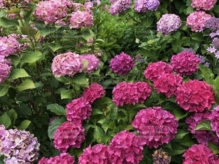 花,ピンク,カラフル,紫陽花,彩り,色鮮やか