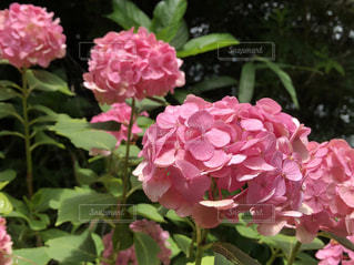 ピンク,カラフル,紫陽花,彩り,色鮮やか,インスタ映え
