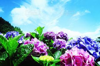 紫陽花の空の写真・画像素材[1316437]