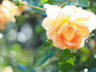 本町近くの公園のお花の写真・画像素材[1374291]