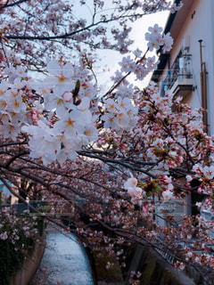 桜の木をアップの写真・画像素材[1367829]