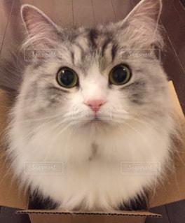 カメラを見ている猫の写真・画像素材[1700587]