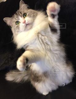 うちのカワイイ愛猫❤️の写真・画像素材[2291837]