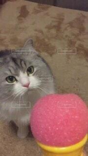 猫 アイスパンチ マンチカン