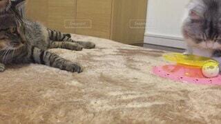 猫,マンチカン,オモチャ