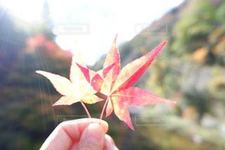 紅葉の写真・画像素材[1619142]