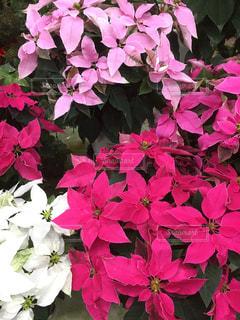 花,冬,ピンク,白,フラワー,鮮やか,クリスマス,ポインセチア,桃色,プリンセチア