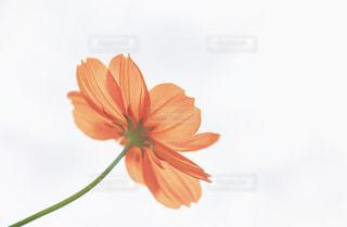 自然,花,秋,コスモス,オレンジ,美しい