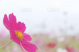 自然,花,秋,コスモス,国営ひたち海浜公園