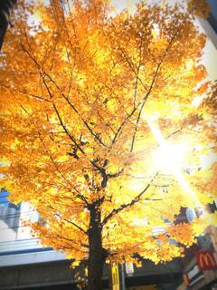 秋の黄色もみじの写真・画像素材[1465287]