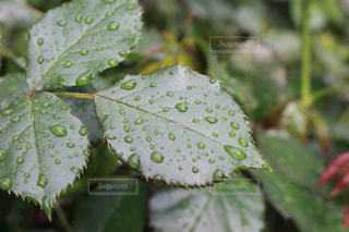 自然,雨,緑,水滴,葉,薔薇,露,雨上がり,雫,草木,バラの葉,薔薇の葉,液滴