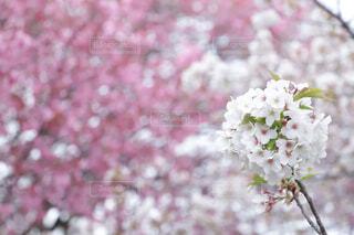 花のクローズアップの写真・画像素材[4296000]