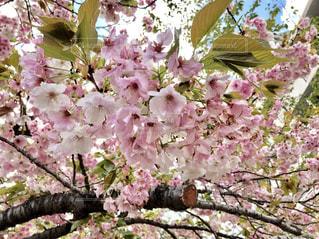 空,桜,木,ピンク,青,さくら
